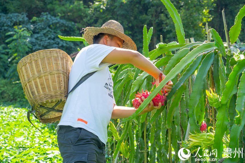贵州罗甸:火龙果丰收 果农喜笑颜开